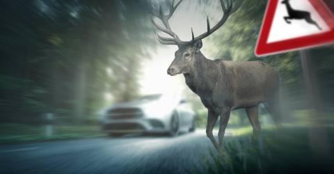 Hert loopt over rijweg